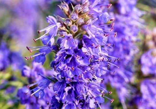 Hisopo flor