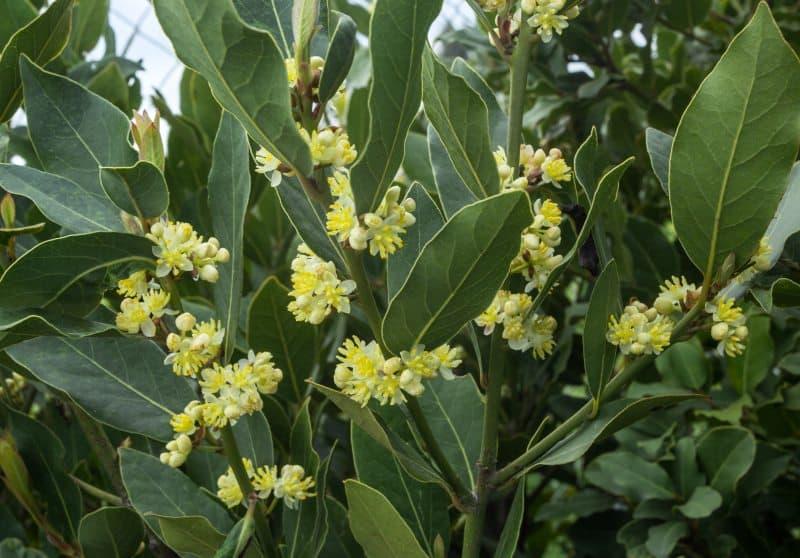 Laurel hojas y flor