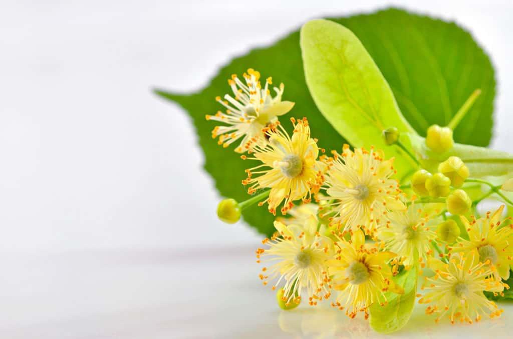 Tilo en flor