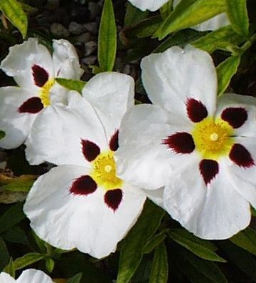 Jara flor blanca con negro