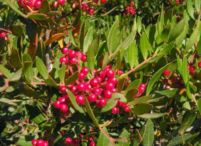 Lentisco arbusto