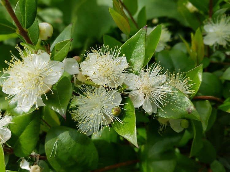 Mirto verde con hojas y flor