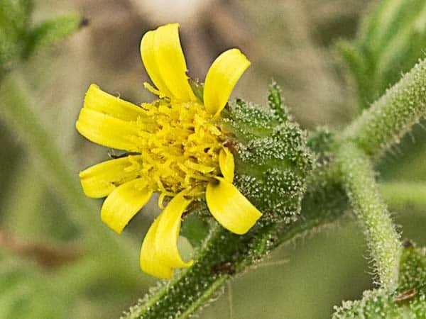 Olivardina flor amarilla